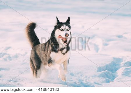 Funny Happy Siberian Husky Dog Running Outdoor In Snowy Park At Sunny Winter Day. Smiling Dog. Activ