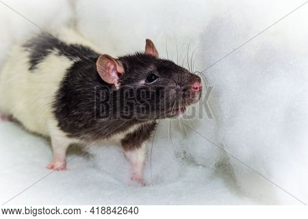 Angelic Pet Fancy Hooded Rat Playing In The Heavenly Clouds