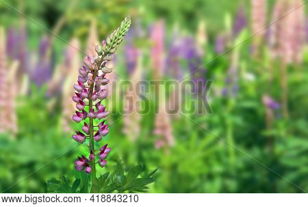 Wild Flowers Pink And Violet Lupin ( Lupinus Albus ) Blooming In Sun Light In Summer On Meadow