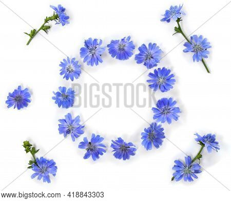 Frame Of Blue Flowers Chicory ( Cichorium Intybus ) White Background With Space For Text. Top View,