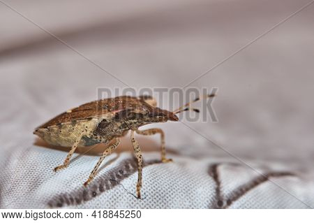 Asian Stink Bug, Alien Dangerous Insect