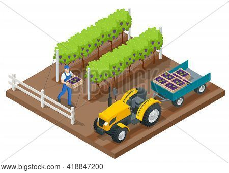 Isometric Grape Harvest, Farmers Harvesting Grapes. Vineyard In Fall Harvest With Ripe Grapes. Tract