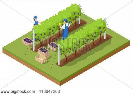 Isometric Grape Harvest, Farmers Harvesting Grapes. Vineyard In Fall Harvest With Ripe Grapes. Ogani