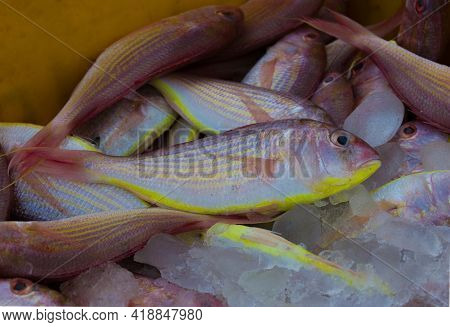 Northern Red Snapper Fish Close Up Shot,kept In Ice To Maintain Freshness.