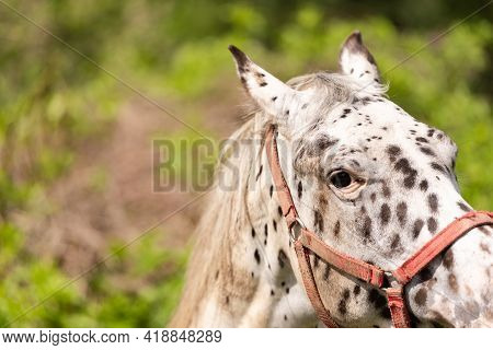 White Horse With Spots. The Horse Looks At You Carefully With Its Right Eye. Horse Head Close-up.