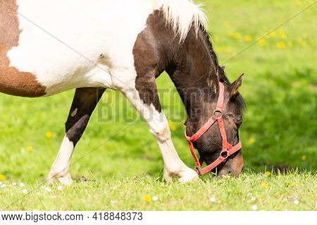A Horse Eats Young Green Grass. Bright Spring With Good Weather And A Horse.