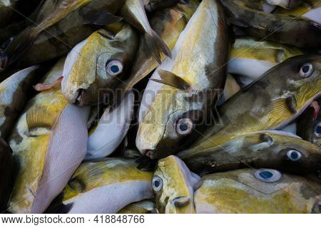 Smoothback Pufferfish (lagocephalus Inermis) For Sale In The Fish Market In Mangalore Harbour, Karna