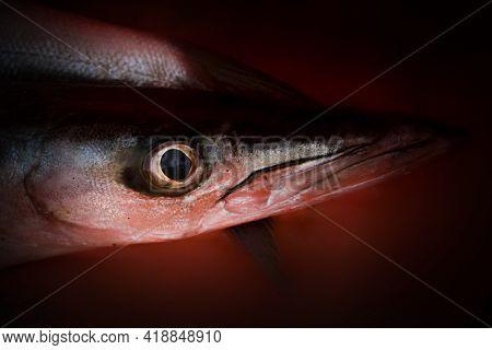 Close-up Shot Of Obtuse Barracuda Fish Head Region.