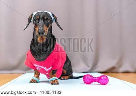 Obedient Dachshund Dog In Sportswear With Wristbands On Paws And Headband Protecting From Sweat On H