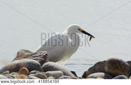 Backlit Snowy Egret Bird Or Egretta Thula Eating Crayfish From Rocky Lake Edge