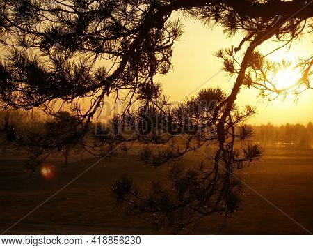 Blurred Spruce Tree Branches, Sunset Light.  Black Silhouette Fir Needles Closeup. Natural Coniferou