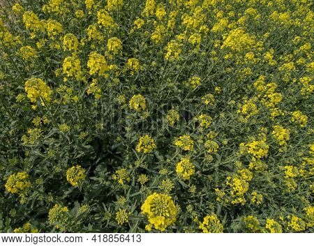 Flowering Rapeseed , Canola Or Colza (brassica Napus). Plant For Green Energy And Oil Industry. Biod