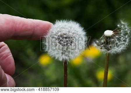 Fuzzy dandelion with human hand touching