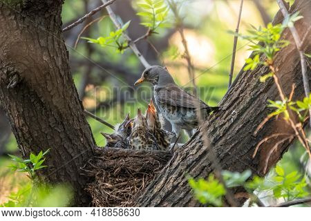 Thrush Fieldfare Feeding Chicks With Earthworms. Thrush, Turdus Pilaris, With New Born Babies In The