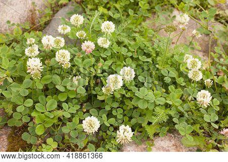 White Creeping Clover (trifolium Repens) Among The Stones