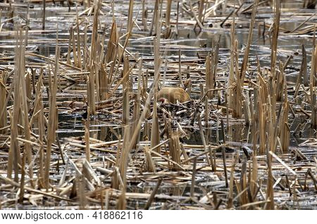 The Sandhill Crane (antigone Canadensis) On The Nest Natural Scene From Wisconsin During Nesting