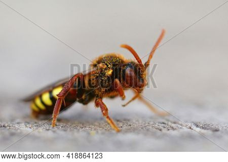 Closeup Of A Colorful Lathbury's Nomad Bee, Nomada Lathburiana A Cucko Bee Or Nest Parasite Of The G