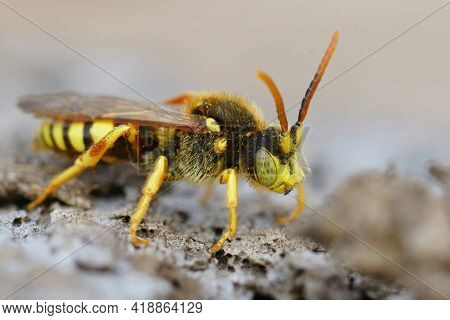 Closeup Of A Male Lathbury's Nomad Bee, Nomada Lathburiana, A Cucko Bee Or Nest Parasite Of The Grey