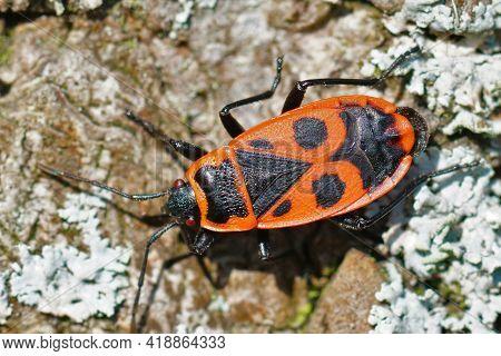 Closeup Of The Red Firebug, Linden, Sap Sucking Or  Soldier Bug, Pyrrhocoris Apterus On A  A Silver