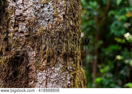 Moss On Tree Trunk In The Subtropical Moist Broadleaf Forest With Selective Focus.