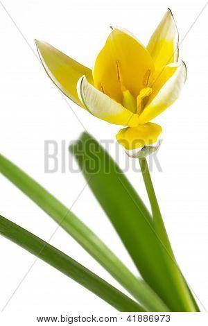 Diminutive Tulip (Tulipa tarda)