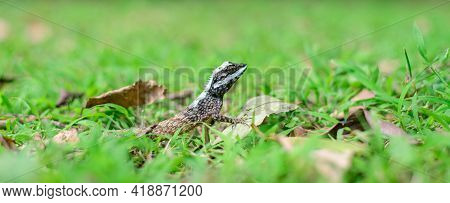 Painted Lipped Lizard Or Commonly Known As Sri Lanka Bloodsucker Is One Of The Calotes Species Endem