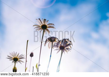 Many White Daisy Flowers Standing Tall Against The Blue Sky, View From Underneath The Flowers, Low A
