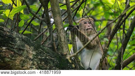 Dryzone Toque Macaque Monkey Resting In The Bush.