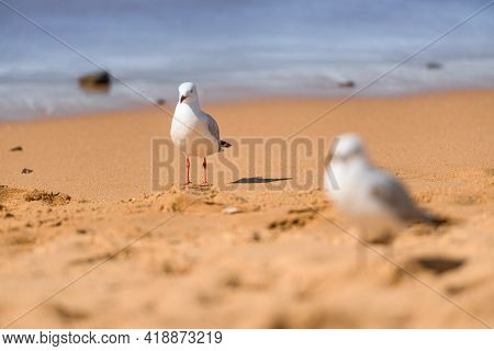 Portrait Of The White Seagull Birds On The Beach