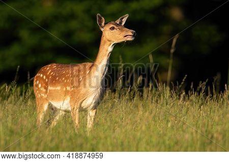 Fallow Deer Hind Calling On Green Meadow In Summer Sunlight