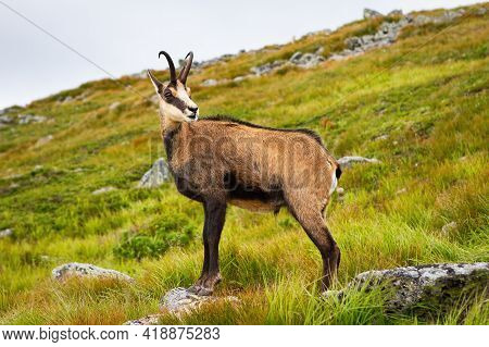 Tatra Chamois Standing On A Hill In Mountains In Summer Nature