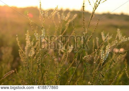 The Varied Vegetation, Ears Are Illuminated By The Sun At Sunset