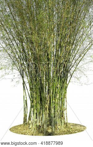 Bamboo, Isolated On White Background. Fresh, Green Bamboo, Object With Clipping Path.