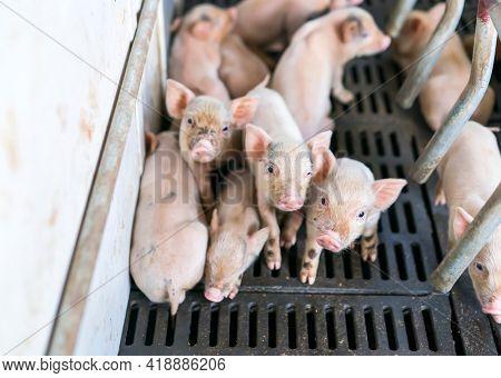 cute piglets at the farm
