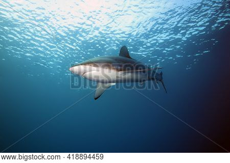 Silky Shark (carcharhinus Falciformis), Also Known  As Blackspot, Gray Whaler, Olive, Ridgeback, Sic