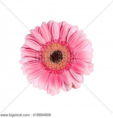 Beautiful Pink Gerbera On A White Background. Beautiful Delicate Spring Gerbera Flowers On A White B