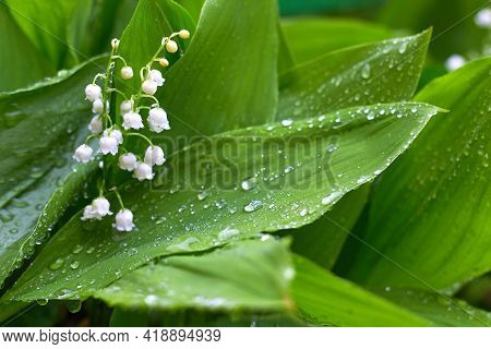 Lily Of The Valley. White Lilies Of The Valley In The Dew. Flower Spring Sun White Green Background