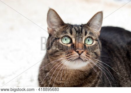 Portrait Of Large Cat. A Tabby Cat With A Surprised Look Is Resting On A Diva. Cat With Tassels On T