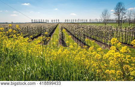 Yellow Flowering Rapeseed In The Foreground Of A Dutch Pear Orchard With Blossoming Low-stemmed Tree
