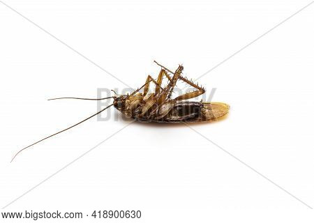 Close Up A Dead Cockroach Isolated On A White Background.