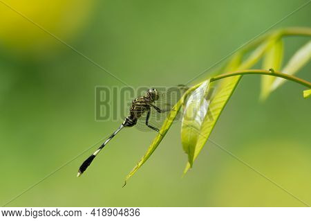 A Green Mark Hawk (orthetrum Sabina) Dragonfly. Also Known As The Slender Skimmer As Seen Resting On