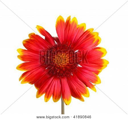 Red And Yellow Flower Of A Gaillardia On White