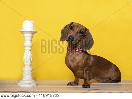 The Dog Sits Next To A Vintage Candlestick On A Yellow Background And Looks Into The Camera With His