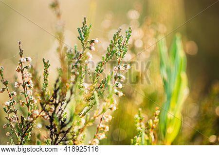 Calluna, Calluna Vulgaris, Common Heather, Ling, Heather Native To Marshes Belarusian Nature