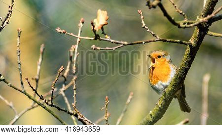 European Robin (erithacus Rubecula) Singing On Tree Branch. Red Breast And Grey Plumage. Mating Seas