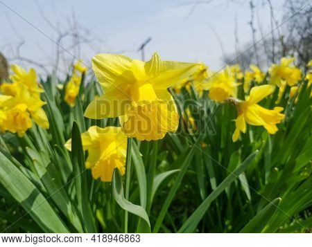 The Yellow Flowers Of Narcissus Assoanus Dufour Bloomed In The Garden. Narcissus Assoanus Dufour Clo