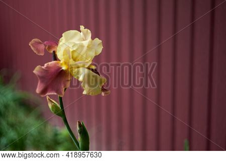 Left Burgundy Iris Flower On A Burgundy Background. Close-up, Right Free Space