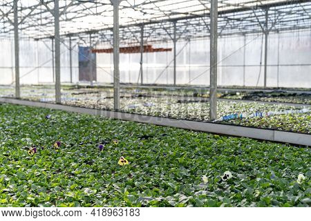 Greenhouse And Agribusiness: Growing Greenery In Plant Nursery For Vegetables Cultivation Or Gardeni
