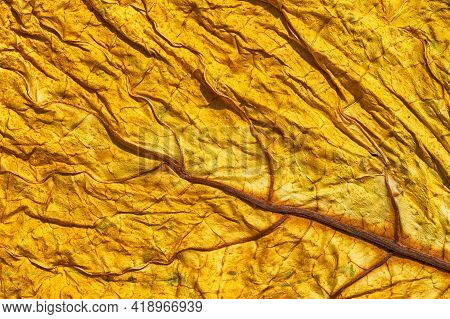 Golden Tobacco Leaf Texture. Dried Tobacco Leaf With Visible Details Of The Structure. Abstract Macr