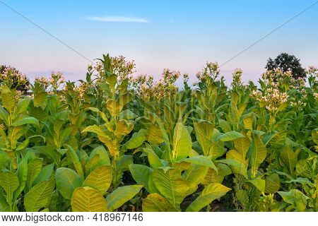 Tobacco Plant With Flowers, Big Green Leaves, Stalks And Buds. Blossoming Tobacco In A Farm Field Du